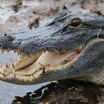 angry alligator during breeding season, Marlou