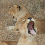 Shumbalala: Where the lions sleep......