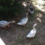 Very Friendly Ducks