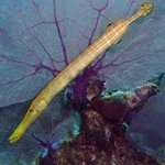 Trumpetfish with purple fan coral