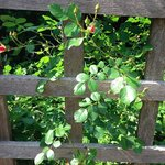 The roses have become very attached to the entry arbor.