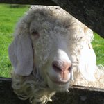 One of Mary's angora goats