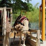 Dar uma volta no camelo