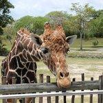Alimentar as girafas