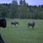 Moose seen from the van, up close and personal!