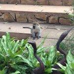 Monkey near the pool