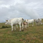Hanging Out With Chianina Cattle