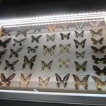 Butterflies Display Case