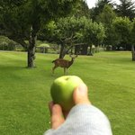 apple trees on the golf green in the front