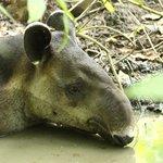 Tapir in the park