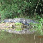 Large Gator on Hillsborough River - Trip 1 Canoe Escape
