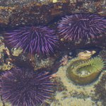urchins and anemones
