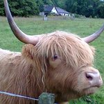 "Highland ""hairy cattle"""