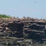 Puffins and other seabirds on Petit Manan Island