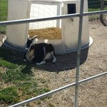 Goat just relaxing