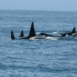 Pod of transient killer whales