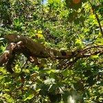 an Arch iguana