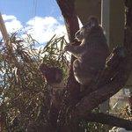 食事中のコアラ