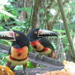 Aracari Toucans feeding on bar porch