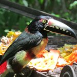 Aracari Toucan up close!