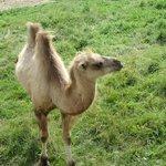 Bactrain Camel