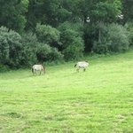 Persian Onagers grazing