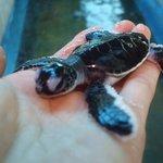 赤ちゃんウミガメ