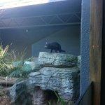 Tasmanian Devil @ Taronga Zoo