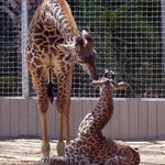6-month old giraffe nuzzling 1-week old giraffe
