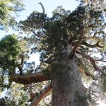 Giant Sequoia with a 6 ft. diameter branch
