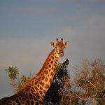 Hluhluwe-Imfolozi. Giraff. Apr. 2014