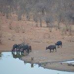buffalo drinking - water hole