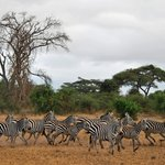 A herd of zebras.