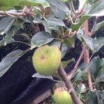 Apple tree at Kiram village!