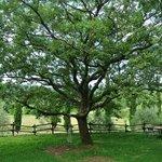 Dolci pisolini sotto la grande quercia