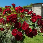 le rose rosse red roses