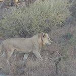 Lions stalking rhino