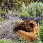 A Barbary Lion at Inverdoorn Private Game Reserve.