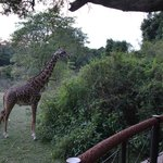 Giraffe that dropped into the bar for a snack...