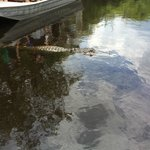 Alligator near Boat