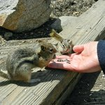 Hand feeding chipmunks
