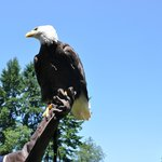 Bald eagle at Raptor Center, Duncan