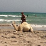 La spiaggia piena di cammelli