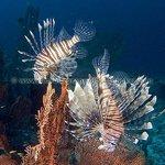 Lionfish - dive AR avc wm-