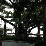 Banyan tree at the beach house bar