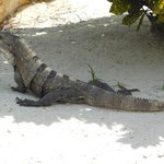 Iguanas by the pool!