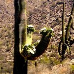 Blooming cactus on the hiking trails.