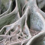 roots of their enormous banyan tree - multilevel viewing available