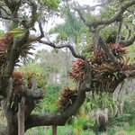 epiphytes growing in a very large and perfectly formed tree