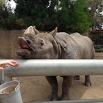 Rhinos love sweet potatoes!